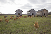Modern chicken coops in a grassy backyard.