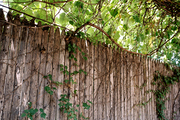 Vines growing on a wooden fence