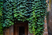 Virginia creeper covering the facade of a centuries-old residence