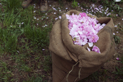 A burlap sack filled with May roses on Joseph Mul's farm in France