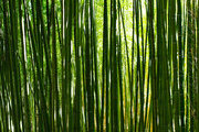 A bamboo-lined pathway