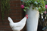 A white chicken a stands guard on brick steps