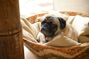 A sleepy pug in a woven basket