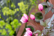 A detail of pink flowers on a window sill.