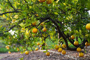 Lush California citrus trees at the Golden Door Spa
