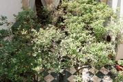 Trees growing in a checkered courtyard