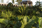 Giant philodendron plants in a garden designed by Raymond Jungles