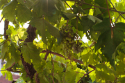 Light streaming through grapes on the vine