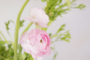 A vase of pink ranunculus flowers