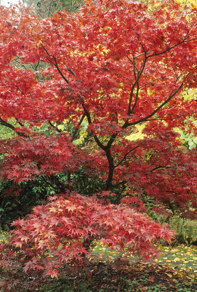 Acer Palmatum Ichigyoji Photos Design Ideas Remodel