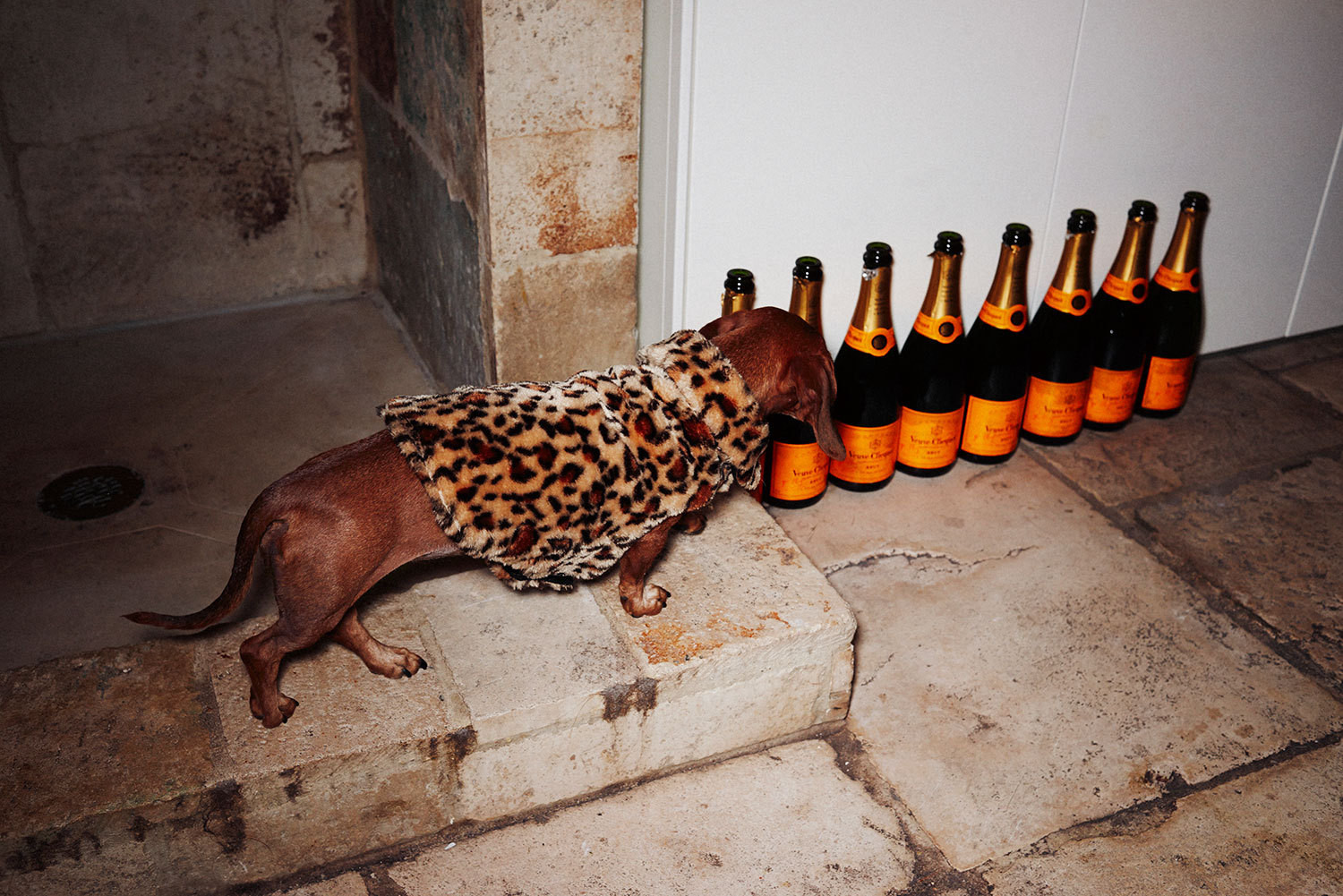 Bergdorf the dachshund takes stock of a growing pile of empty bottles.